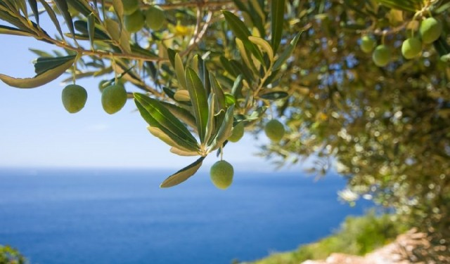 Istrian extra virgin olive oils are... one of the best in the world